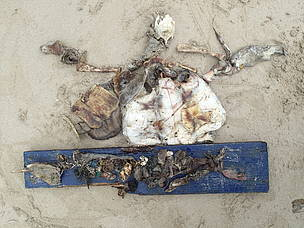 A large amount of marine litter was found in the gut of this deceased turtle. When ingested, litter ...  	© Mandy Wong